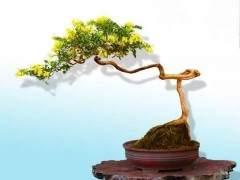 春季金银花盆景发芽怎么养 如何修剪