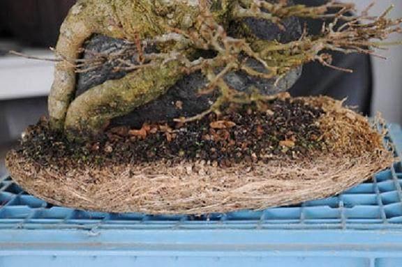 如何给三叉戟枫树盆景进行翻盆