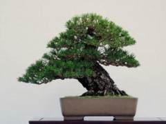 日本黑松在湾岛盆景第十一届年度展览上展出