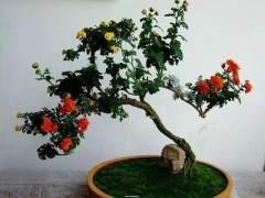 菊花盆景怎么养 有哪些寓意