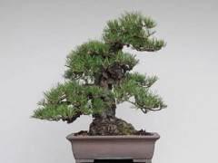 日本的软木树皮黑松盆景