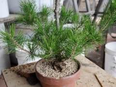 图解 夏季盆景苔藓的养护工作
