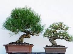 图解 在加利福尼亚州教松树盆景的修剪技巧