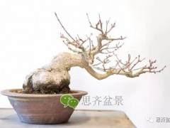 成型红枫盆景发芽后如何养护 图片