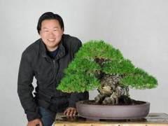 茶风格的日本黑松盆景