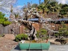今年春天参观梅里特湖畔的GSBF盆景花园