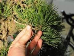 图解 如何修剪软木黑松盆景的13个过程