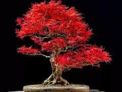 枫树盆景叶片不红怎么办