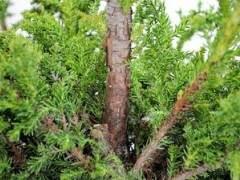 图解 如何高压日本柳杉盆景的方法