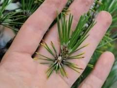 图解 如何修剪日本黑松盆景 使其枝叶稀疏