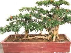 制作石榴盆景移栽发芽的4个方法