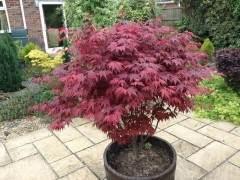 摘叶技巧:红枫盆景到底如果度过炎热夏天