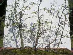 图解 如何将鹅耳枥制作成丛林盆景