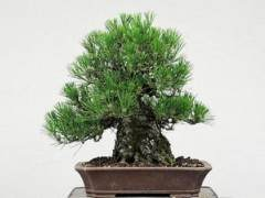 图解 如何修剪日本黑松盆景的方法