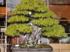 参观日本Mansai-en的盆景花园