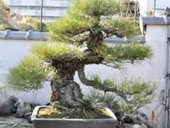 参观日本爱知县的盆景园