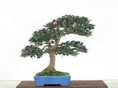 如何制作山茶花盆景?