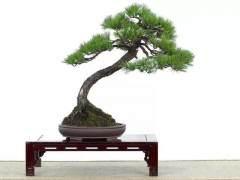 向你推荐人文墨客的文人树盆景!