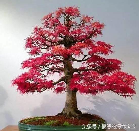 盆景知识:红枫树扦插种植方法