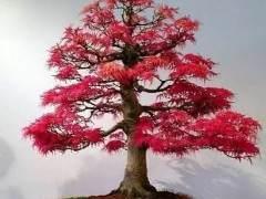 红枫树盆景怎么扦插生根的种植方法