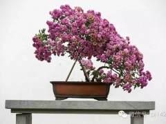 菊花盆景的制作培育方法