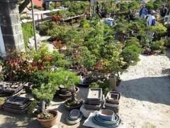 日本上野绿色俱乐部每月举办一次盆景拍卖会