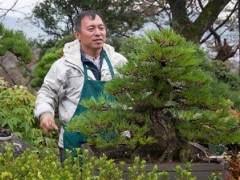 图解 日本大黑松盆景怎么蟠扎的方法