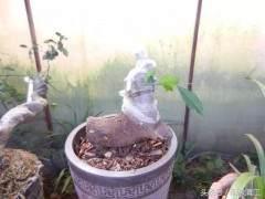 实用盆景技艺:下山桩套袋养殖发芽