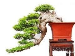 如何将半悬崖式榆树二次改造成崭新的悬崖盆景?