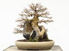请欣赏 第十三届湾岛盆景展上的柏树盆景