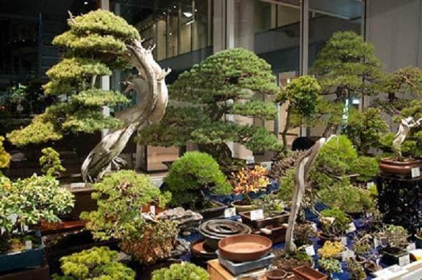 你知道在日本举办世界级的盆景大会是什么的感觉?