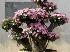 菊花盆景的作用 怎么养?