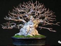 如何制作朴树盆景?