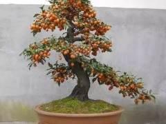 怎样才能使金弹子老鸦柿盆景挂果满枝?