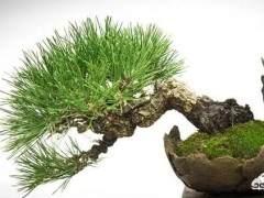 如何制作一盆在石头上生长的微小盆景