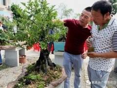 """平铺镇首届""""老鸦柿盆景交流研讨会""""举行"""