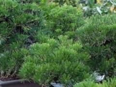 修剪黑松盆景的季节到来了