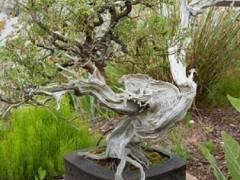 在Elandan花园的杜松盆景