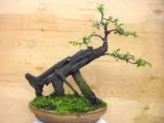 什么样的树木能制作成盆景