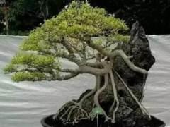 为什么这样处理盆景根部是最好的