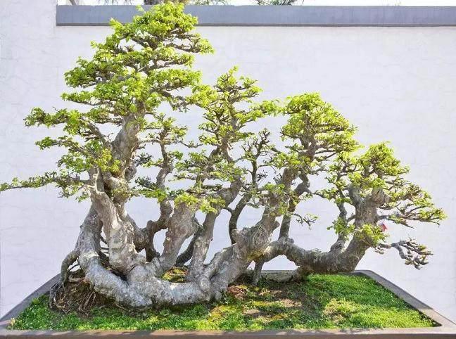榆树盆景枝条的拿弯方法
