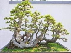 榆树盆景枝条怎么拿弯的3个方法