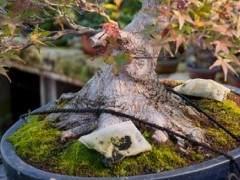 欣赏日本名古屋的枫树盆景