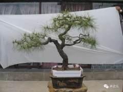云南松盆景介绍 异域风格 别具一格