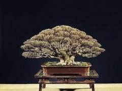 通过倒栽矮化树木盆景的7个步骤