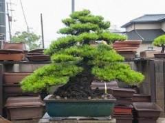 访问日本金桥盆景区