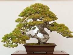 湾岛盆景第十四届年度展览中的杜松