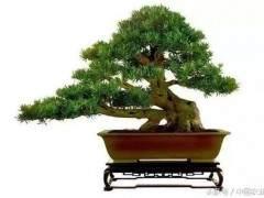 蓬莱松盆景制作方法 后期养护技巧