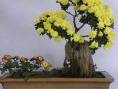 制作小菊盆景怎样移栽的3个步骤