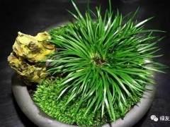 菖蒲盆景的施肥与浇水